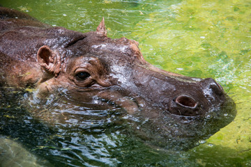 Hippopotamus in the zoo.