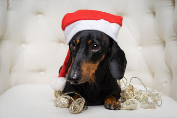 Close-up portrait cute of a dachshund dog, black and tan, in a Christmas red hat and garland lies in a white armchair. Christmas and New Year concept