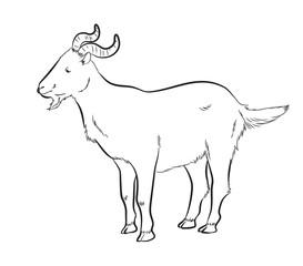 Big Horns Goat Drawing Vector Illustration