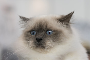 Siamese cat with blue eyes close-up