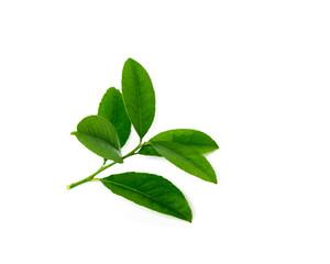 Studio shot branch of fresh green lemon leaves isolated