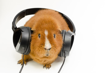 red audio pig