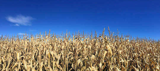 Corn field growing in New Hampshire, USA during Autumn