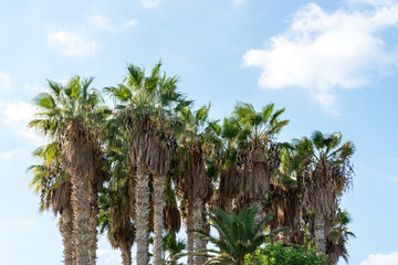 A group of palm trees against blue sky.