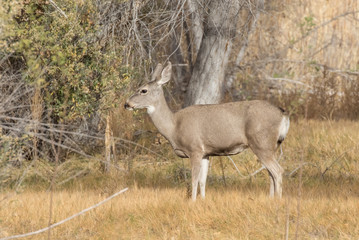 Mule deer at Bosque del Apache National Wildlife Refuge in central New Mexico