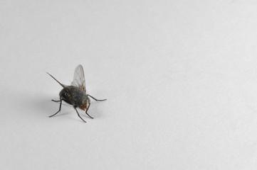 Fliege, Brummer, Insekt, Insekten, Zweiflügler, Diptera, Schmeißfliege, Sechsfüßler, Fluginsekt, Parasit, Parasiten, Schädlinge, Fliegen, Zweiflügler, Tier,
