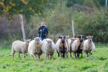 woman herds a pack of sheep