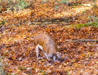 A pigs hunts for food in fallen autumn leaves in the New Forest
