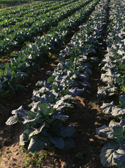 Vertical Rows of Green Leafy Vegetables in Farm Field