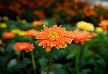 Poster Gerbera Beautiful gerbera flower in garden