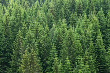 fir trees forest background