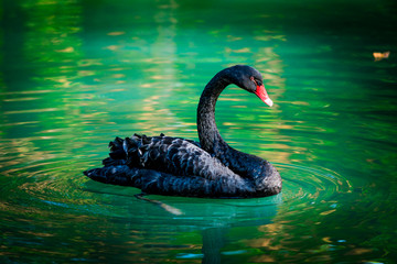 Photo sur Aluminium Cygne black swan In a pond