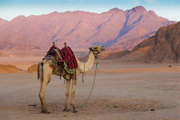 Arabian camel in desert . Sinai. Egypt