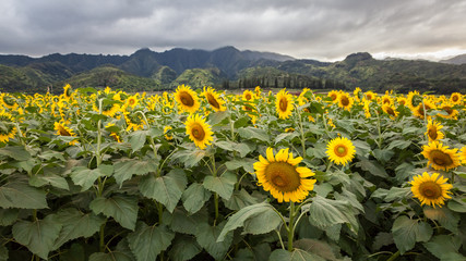 Sunflower Field Hawaii / Sunflower field and agriculture  landscape and flower closeup in Oahu, Hawaii, USA.