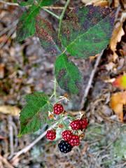 Zdrowe, ale jeszcze nie dojrzałe leśne jeżyny - witaminy z lasu