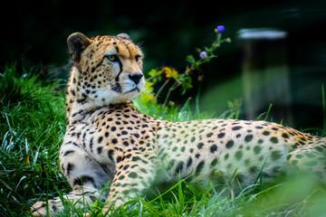 Male of Sudan cheetah