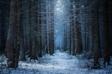 path in the beautiful spruce winter forest