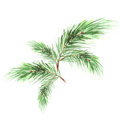 Branch of spruce, pine, cedar tree. Painted in watercolor, hand-drawn graphics. On a white background. For postcards, logos, your design.
