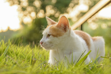 Cat sit on foot path and green grass when sunset and sunlight bokeh