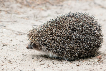 Beautiful hedgehog running along the sandy path in the wild close