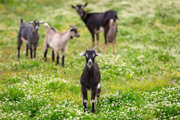A flock of goats standing on a pasture, Greece
