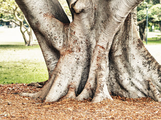 Banyan Tree in Sydney