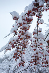 Frozen branches with berries