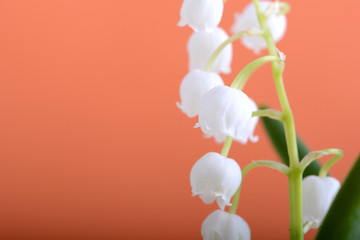 lilies of the valley on a orange background close up
