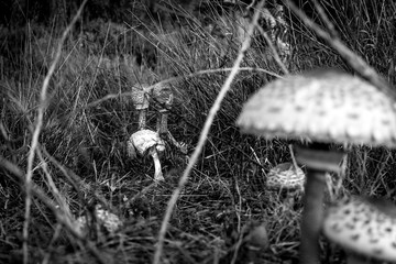 Mushrooms in a meadow close up in black and white