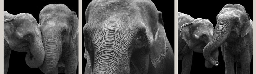 African elephants close-up, isolated on a black background
