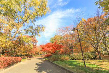 Japan autumn , Beautiful autumn leaves of Obuse park ,Nagano Prefecture,Japan.