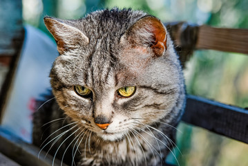 Portrait of old striped grey cat