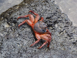 Helicopter view of a galapagos crab at puerta ayora