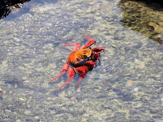 side-view of a parially submerged galapagos crab at puerta ayora