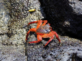 red galapagos crab with a black back at puerta ayora