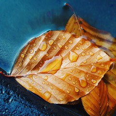 Golden fall leaf in rain