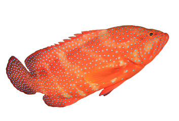 Coral Trout (Coral Grouper) fish isolated on white background