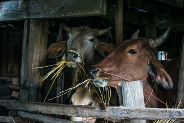 Cows are eating straw.