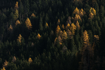 Pine forest in italy during autumn