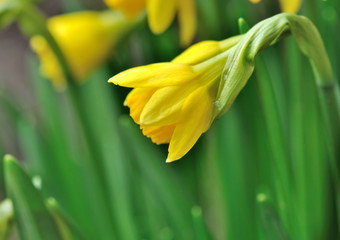 close on daffodil on green leaf background