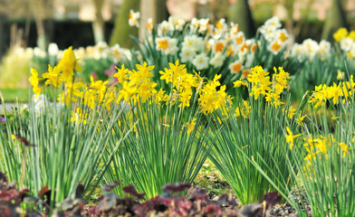 beautiful daffogils in flowers bed in garden