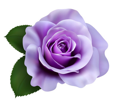 Realistic purple rose, Queen of beauty.