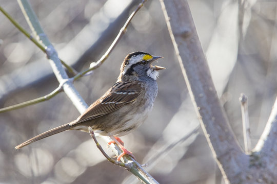 white throated sparrow singing in spring