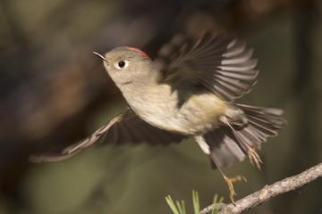 ruby-crowned kinglet in flight