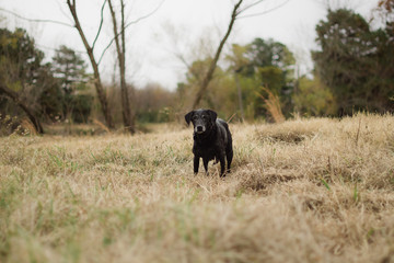 Black Labrador retriever standing in a field.