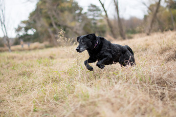 Black Labrador retriever running in fields.