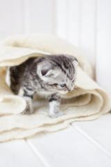 Little grey kitten plays on the white fur shawl.
