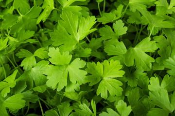 Green fresh Parsley