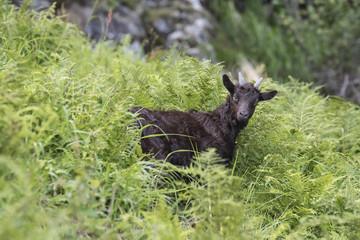 alpine goat grazing