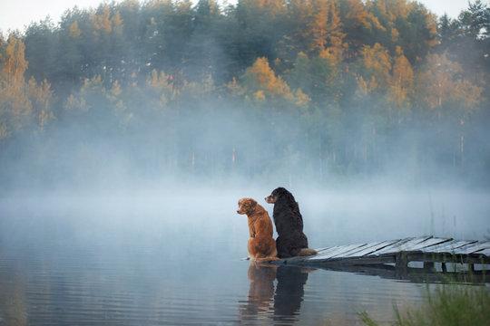 Nova Scotia duck tolling Retriever and Australian shepherd dog on a wooden pier